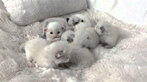 2 week kittens ragdoll kittens 2 weeks old youtube