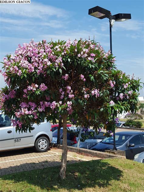 Viveiro Ciprest - Plantas Nativas e Exóticas: Quaresmeira ...