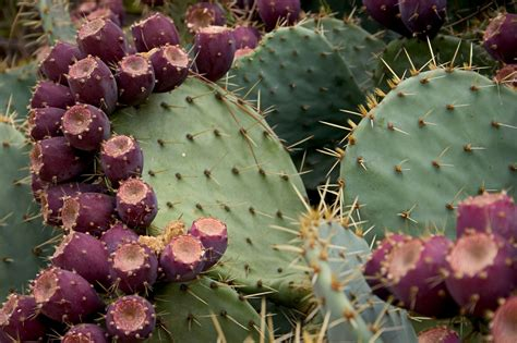 cactus pear growing prickly pear prickly pear plants in the home garden