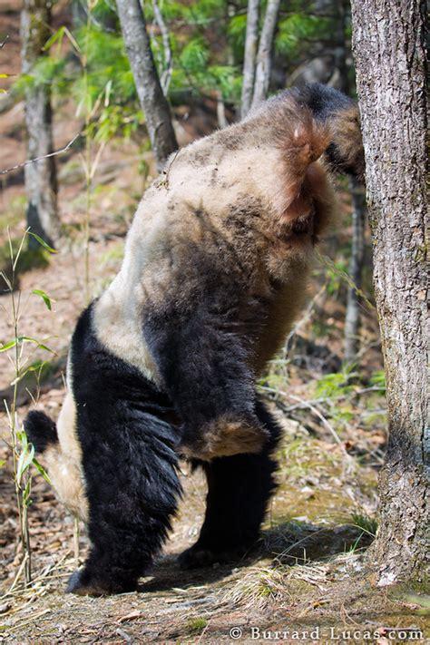 panda handstand burrard lucas photography