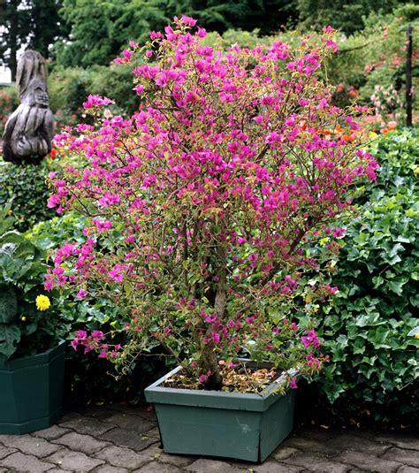 entretien bougainvillier en pot bougainvillier planter et tailler ooreka