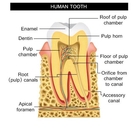Tooth Bone Diagram by Information About The Human Tooth Anatomy With Labeled
