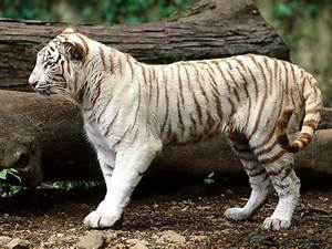 Baby white tiger wallpaper |Funny Animal