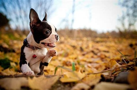 dogs playing  autumn leaves smile
