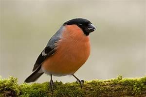 Vogel Mit Roter Brust : gimpel oder dompfaff lbv ~ Eleganceandgraceweddings.com Haus und Dekorationen