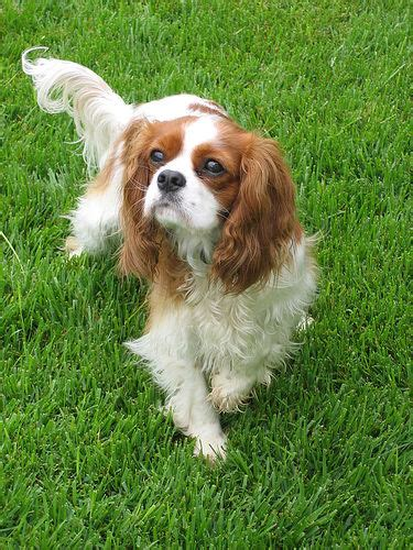 Filecavalier King Charles Spaniel 02jpg  Wikimedia Commons
