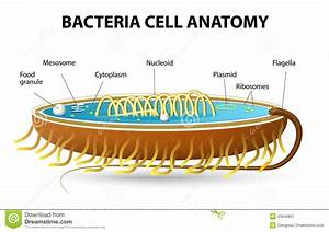Bacteria Cell Anatomy Stock Vector