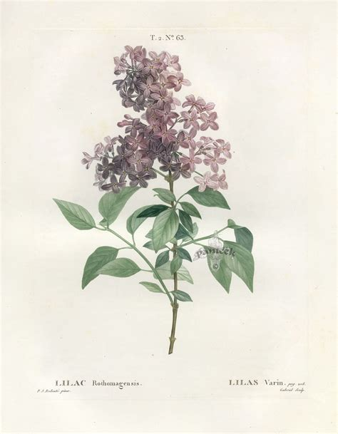 how to make botanical prints antique botanical prints from redoute 1801