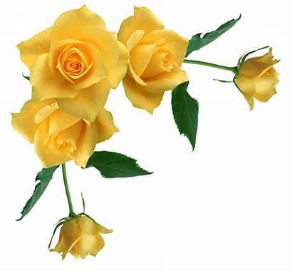 Yellow Rose Roses Clipart Transparent Border Flower