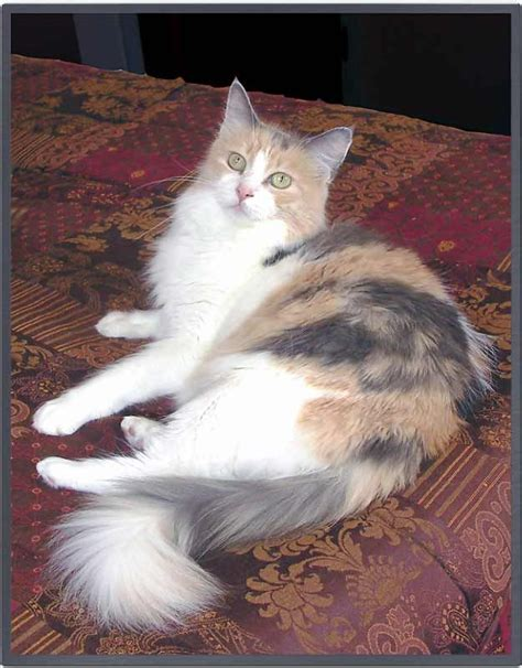 Dilute Calico Would Love To Have Another Dilute Calico