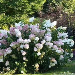 Hydrangea Paniculata Vanille Fraise : 17 best images about hydrangea paniculata on pinterest hedges shrubs and hydrangeas ~ A.2002-acura-tl-radio.info Haus und Dekorationen