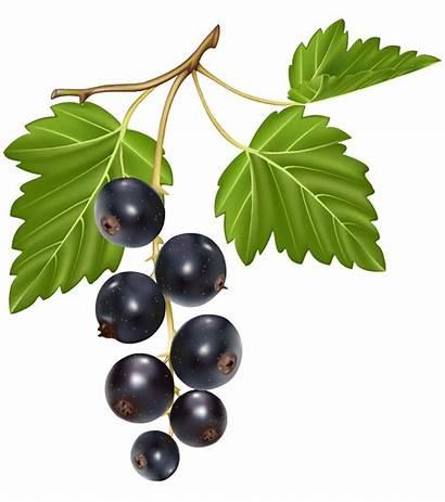 Blueberries Clipart Link Fullsize Clipartpng