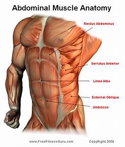 Ab Muscle Anatomy  Now  How To Effectively Work  U0026 39 Em