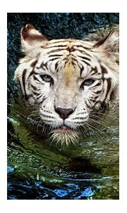 White tiger in water wallpapers and images - wallpapers ...