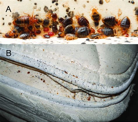 What Are Bed Bugs Symptoms