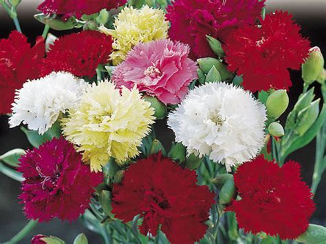 carnation chabaud seed mix 25 carnation seeds
