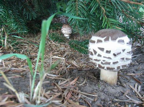 Pilze Im Garten Gefunden by Kulturpilz De Thema Anzeigen Welcher Pilz Ist Das