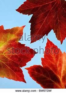Ahorn Rote Blätter : ein zweig der gelben bl tter der japanischen ahorn vor einem blauen himmel stockfoto bild ~ Eleganceandgraceweddings.com Haus und Dekorationen
