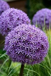 Buy ornamental onion bulbs Allium 'Globemaster': Delivery ...