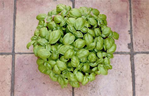 coltivare in vaso come coltivare il basilico in vaso sul balcone non sprecare