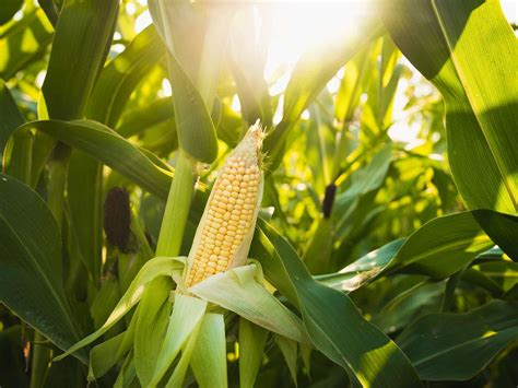 South Africa Expected To Plant More Maize Hectares Than In ...