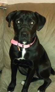Georgia. American Bulldog/Black lab mix. This is one of my ...