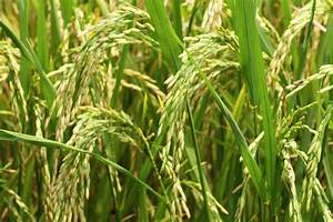 Ars Scientists Work To Give Rice A Weed