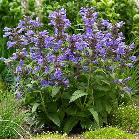 buy catmint plants buy catmint nepeta neptune bokratune pbr delivery by crocus