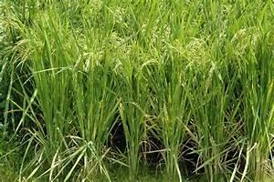 Rice Plants Snorkel To Survive Conditions