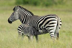 Plains Zebra With Foal Stock Photo - Image: 7170750