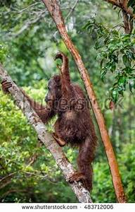 Great Ape Stock Photos, Royalty-Free Images & Vectors ...