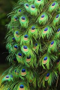Peacock feathers | Peacock | Pinterest