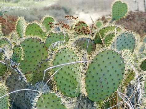 types of cacti cactus sizes dimensions info