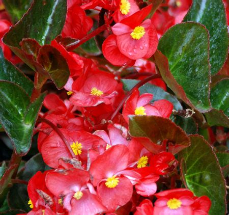 are begonias annuals drought tolerant plants save water money and time msu extension
