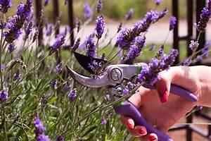 Lavendel Wann Schneiden : lavendel schneiden wann und wie zur ckschneiden blumen natur pflanzen ~ One.caynefoto.club Haus und Dekorationen