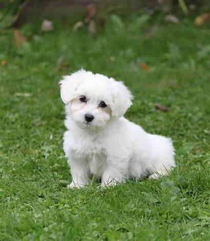 Maltezer Puppy Ticha