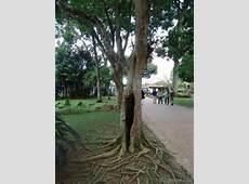 National Tree Of Brazil Brazilwood 123Countriescom