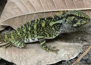New Lizard Species Look Like Evil Dinosaur Hybrids Wired
