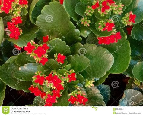 flowering succulent house plant identification kalanchoe red flower texture stock photo image of happy plants 50439884