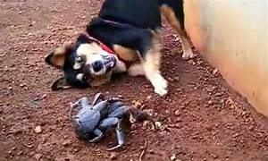 Dog Vs Coconut Crab  Video
