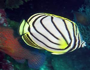 Meyers Butterflyfish