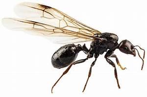 Ameisen Mit Flügel : ameisen fluch oder segen ~ Buech-reservation.com Haus und Dekorationen