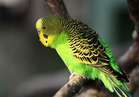 Budgie talking sounds