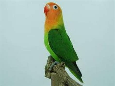 burung master lovebird super ngekek panjang youtube