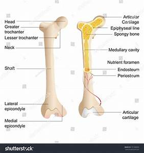Vector Illustration Diagram Human Bone Anatomy Stock
