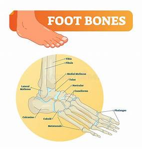 Bones Of The Foot  Labeled Stock Vector  Illustration Of