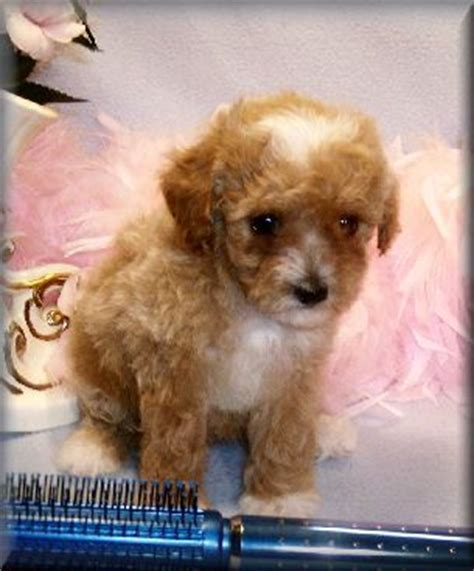 Toy Poodle | CKC Toy Poodle Puppies for sale, Toy Poodle ...