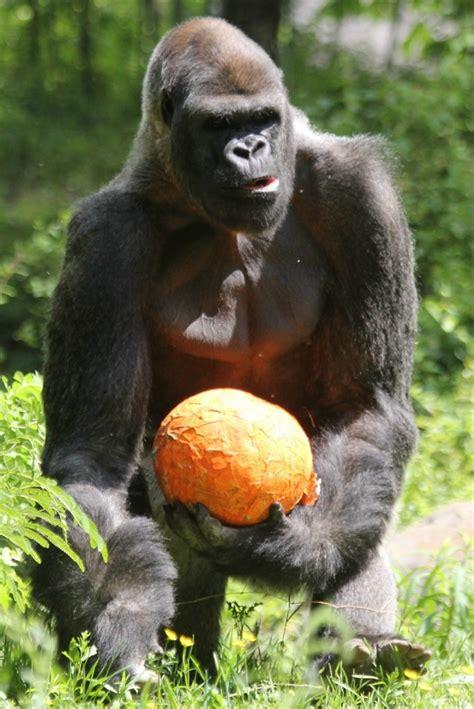 lemurs orangutans zoo habitats gorillas lemur orangutan ape monkeys atlanta enrichment gorilla monkey animals quite visit stadi