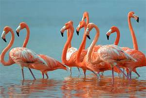 Greater Flamingos – Just Lawn Ornaments in the US ...