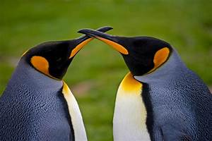 King penguin   TravelWild Expeditions